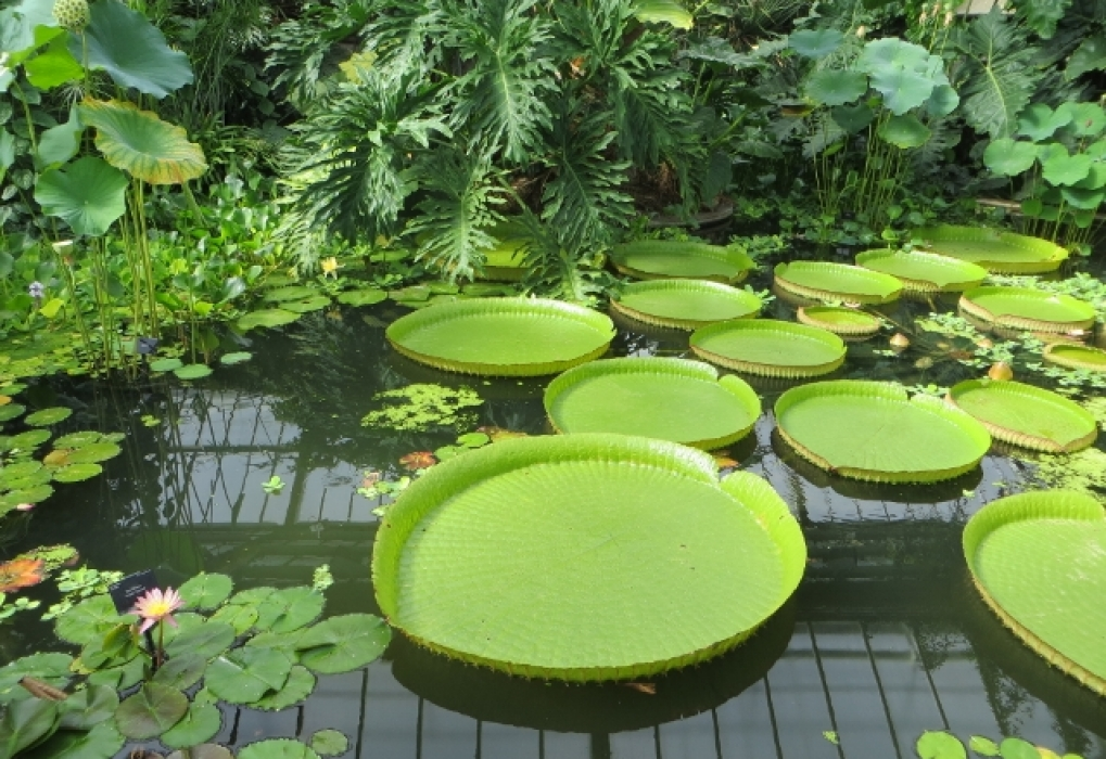 Giant lily pads Kew