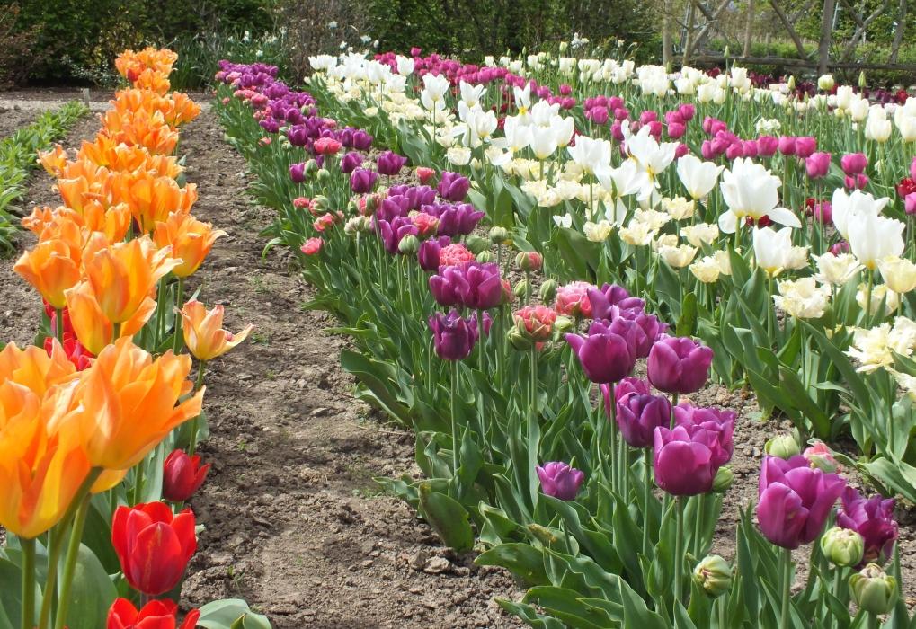 Sissinghurst Tulips 2018