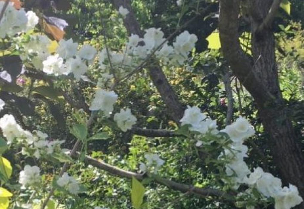 Stunning roses in Andy's garden Romsey trip