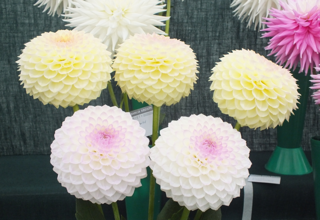 RHS Wisley National Dahlia Society show