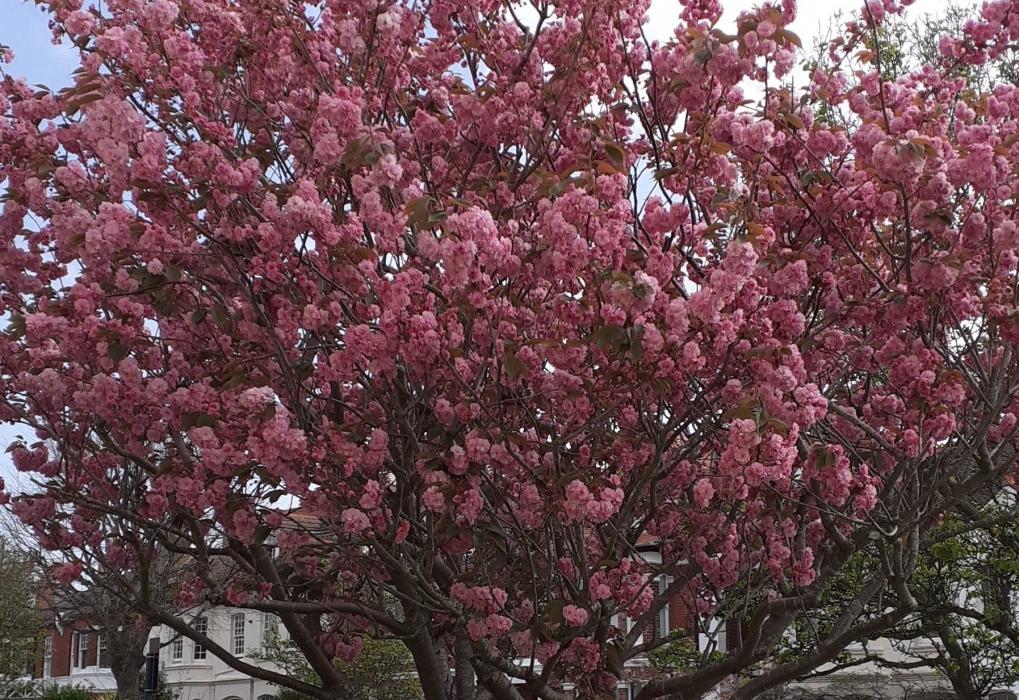 Audrey B Cherry Blossom