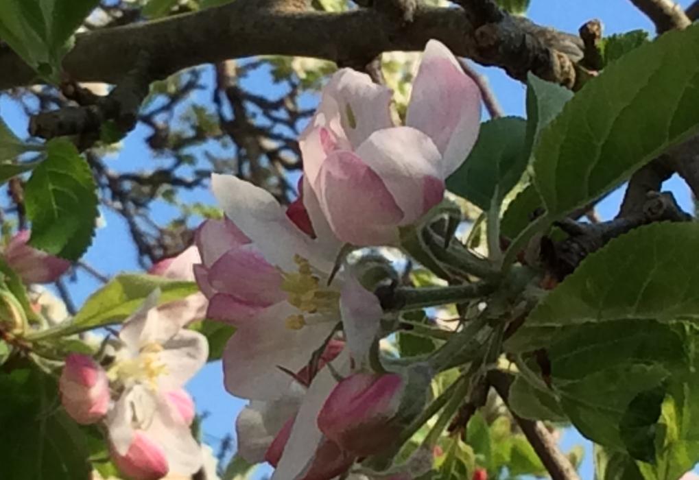 Bev W magnolia