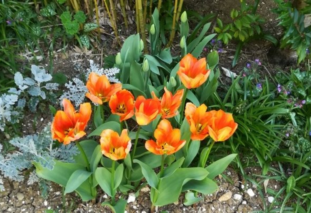 Jenny T Tangerine Tulips