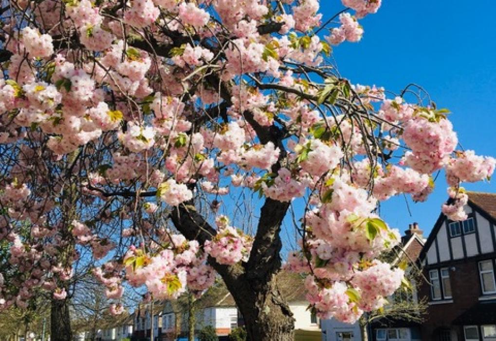 Pat W Cherry blossom, 2020